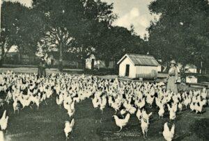 Kalifornia zsidó csirkefarmjai