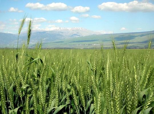 Wheat-haHula-ISRAEL buzamező web.JPG