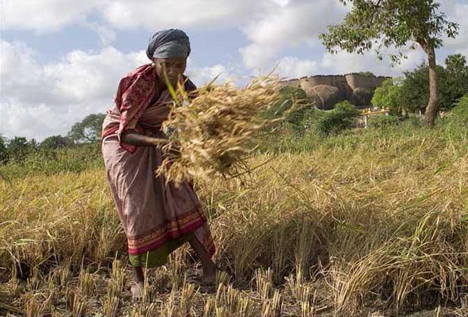 Manual_harvest_in_Tirumayam