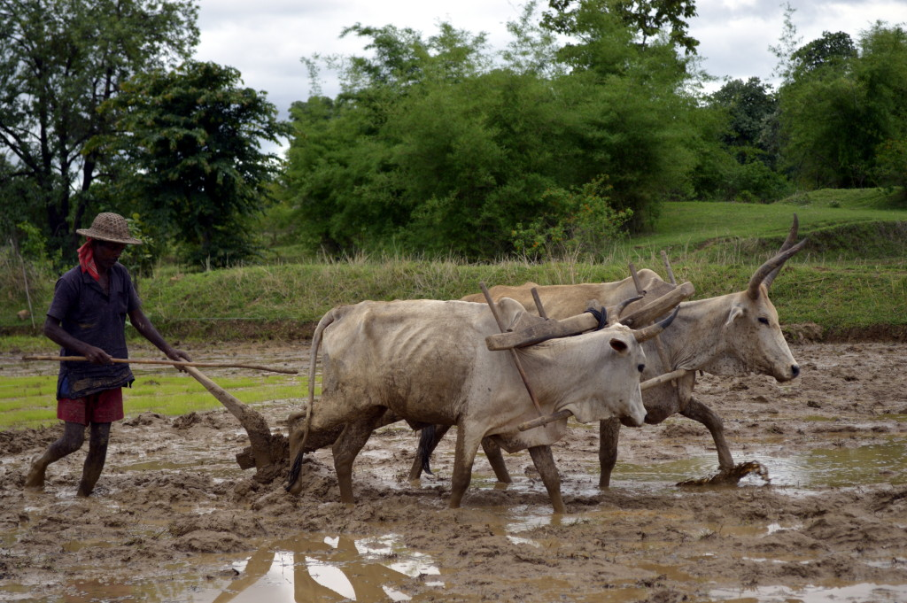 Ploughing_a_paddy_field_with_oxen,_Umaria_district,_MP,_India