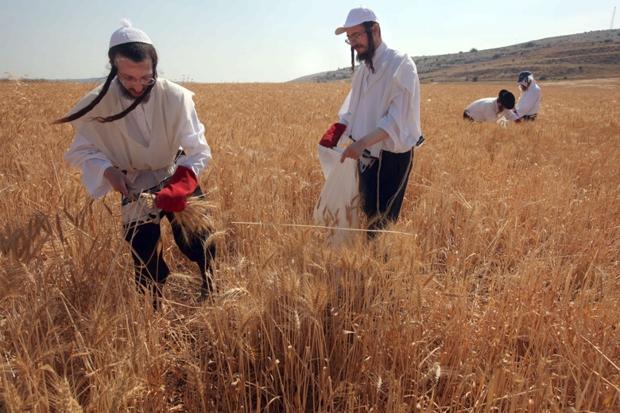 zsidó aratók